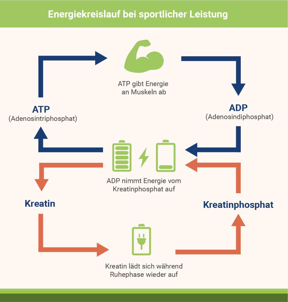infografik-energiekreislauf-bei-sportlicher-leistung