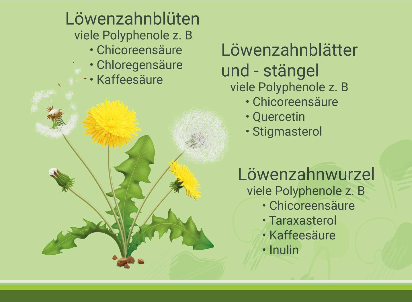 Infografik-loewenzahn-und-darm-wirkstoffe-in-der-wildpflanze