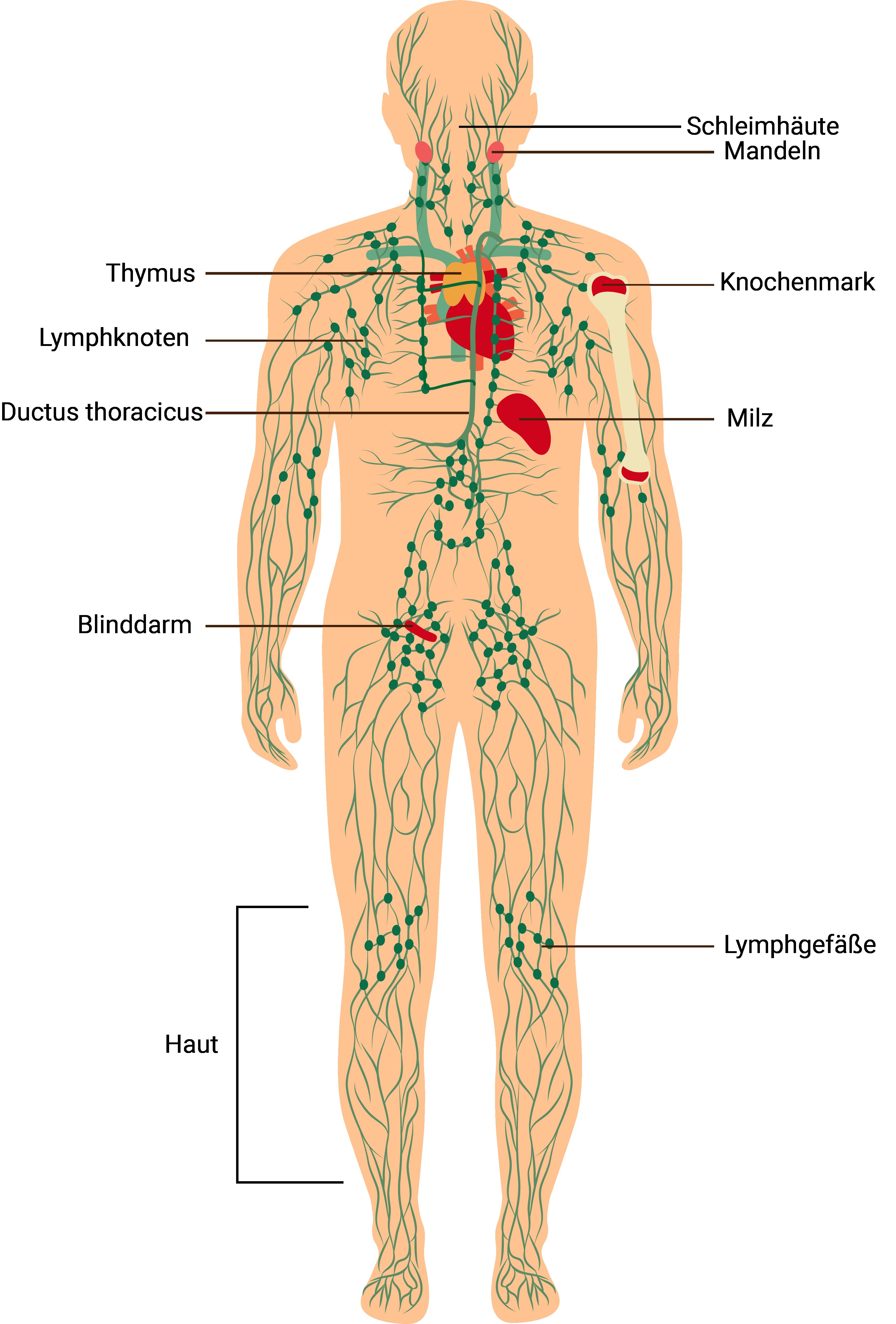 immunabwehr-körperstrukturen-welche-mit-deiner-immunabwehr-verbunden-sind