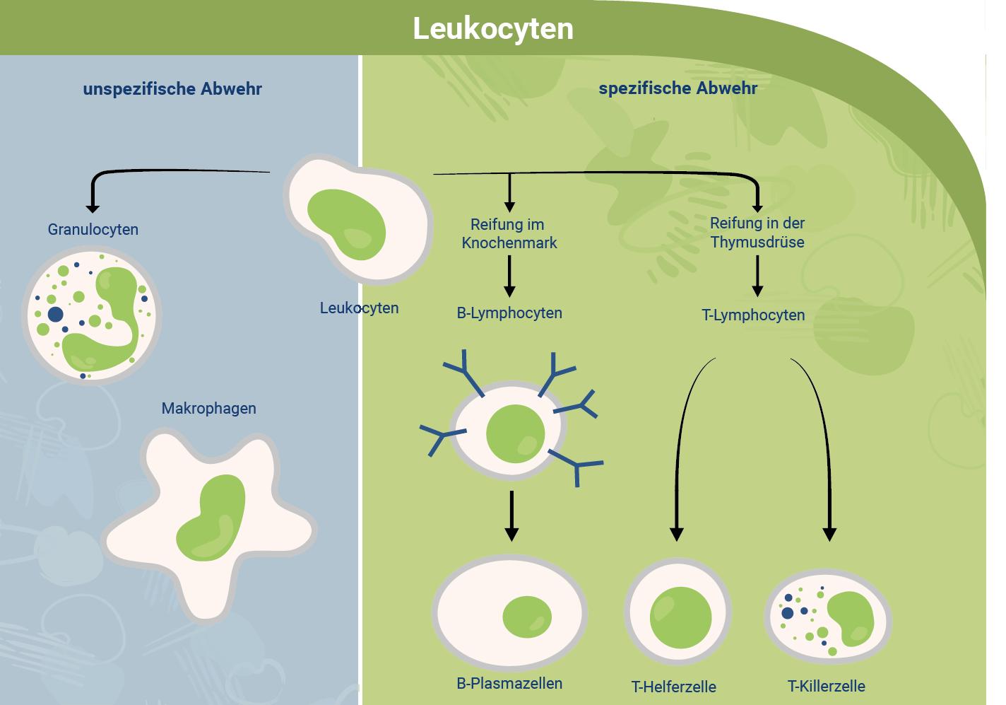 immunabwehr-leukocyten-unspezifische-spezifische-abwehr